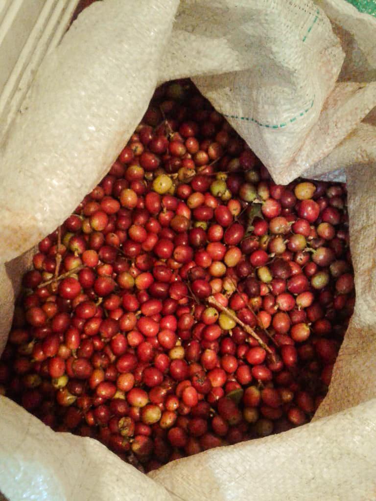 Récolte de fruits de café