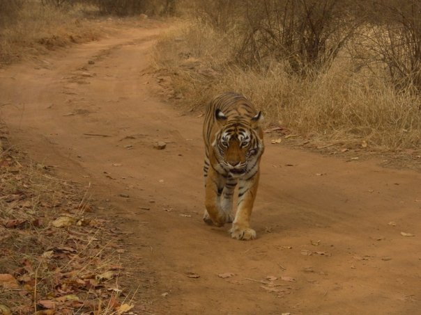 Tigers in Ranthambore National Park