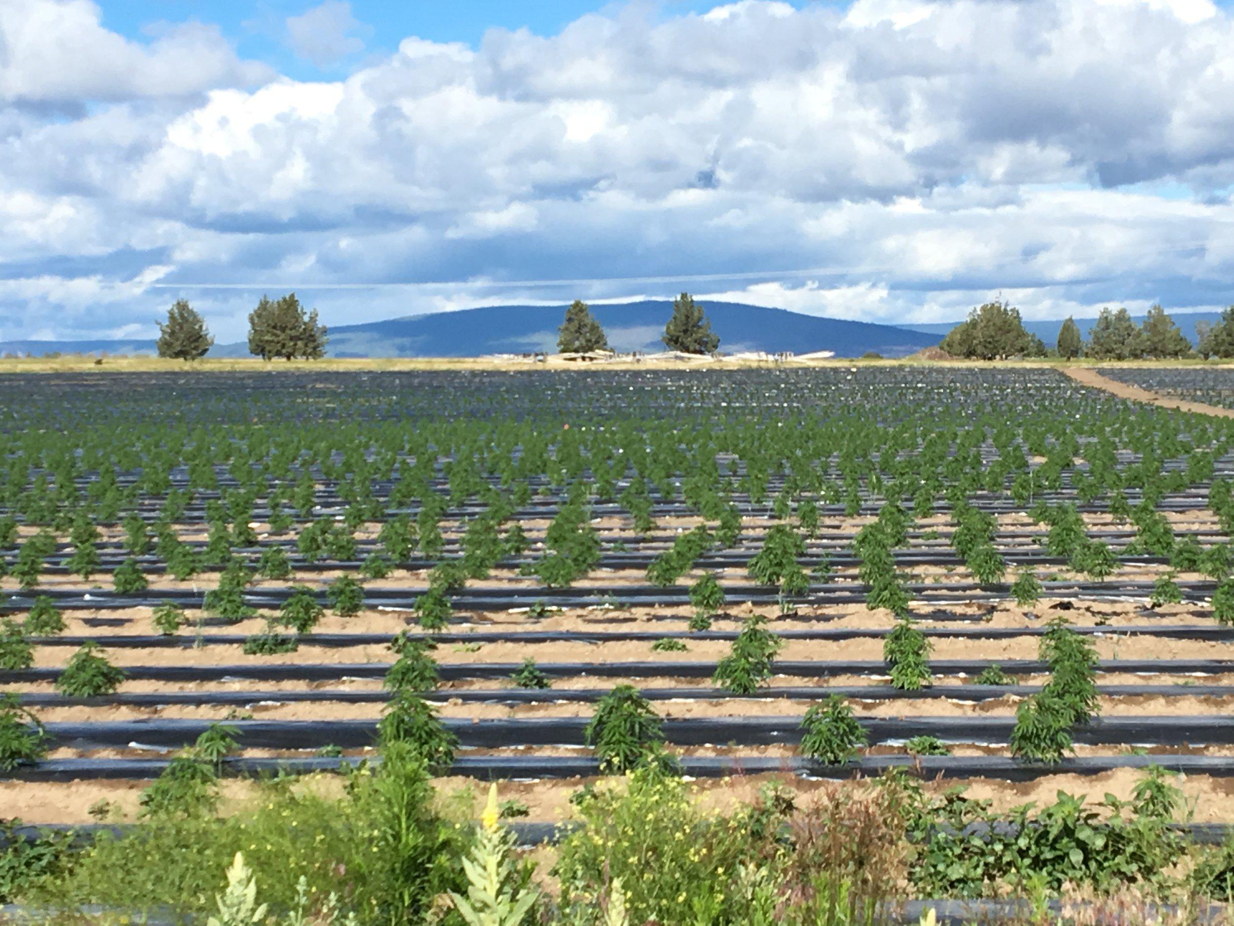 Marijuana field.JPG