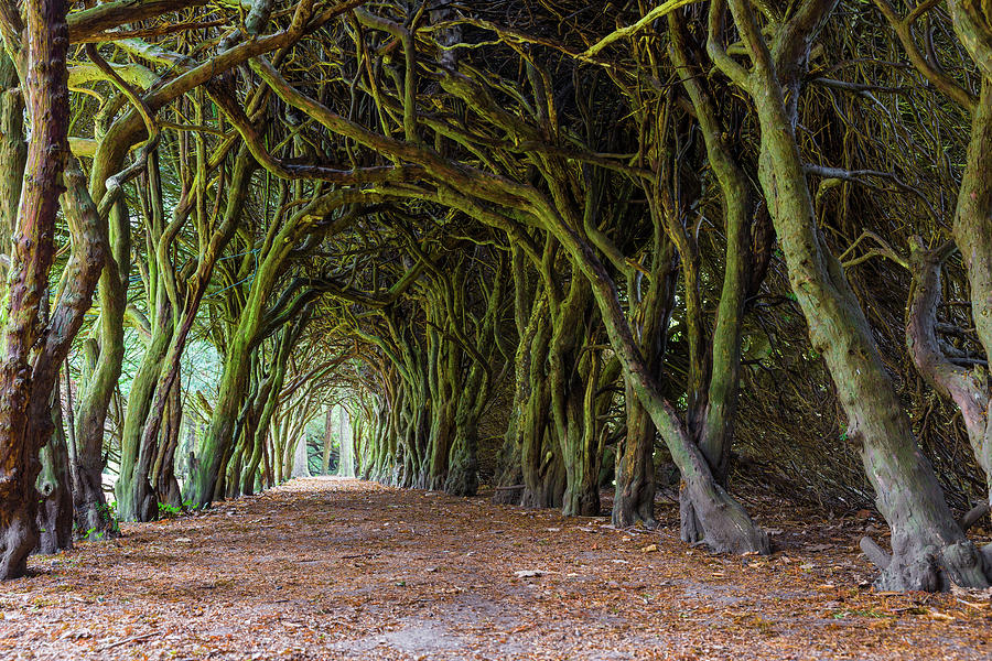 Tunnel of intertwined Yew