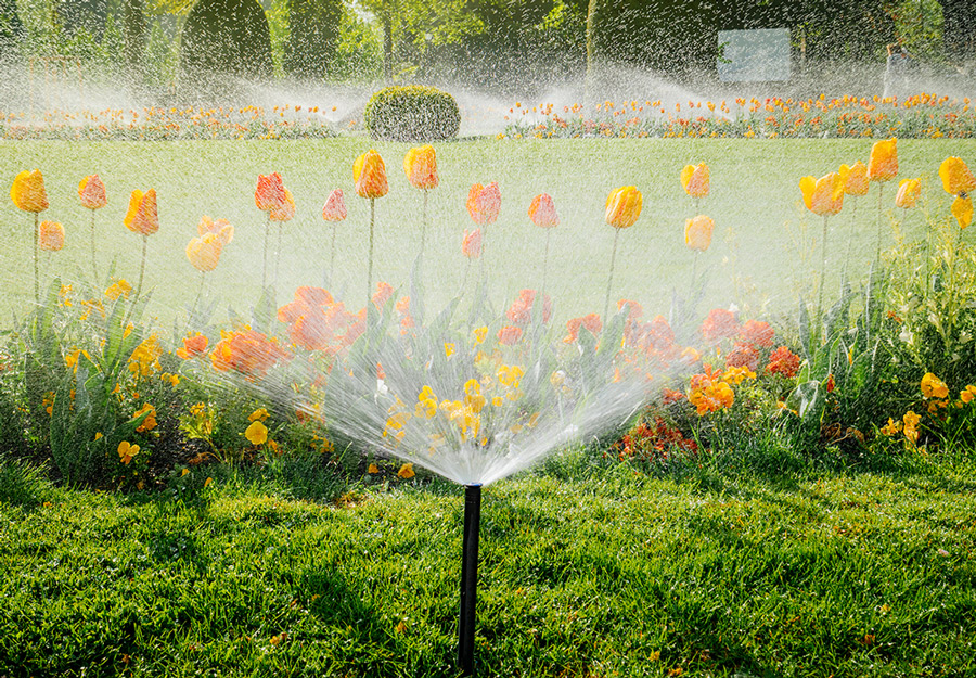 Sprinkler system watering grass and tulips