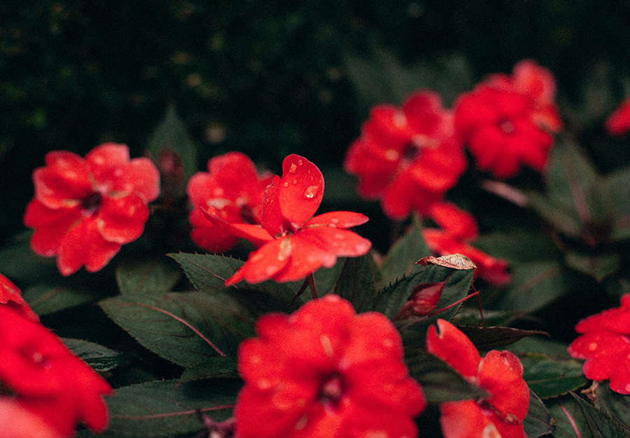 Upclose view of red flowers in a garden