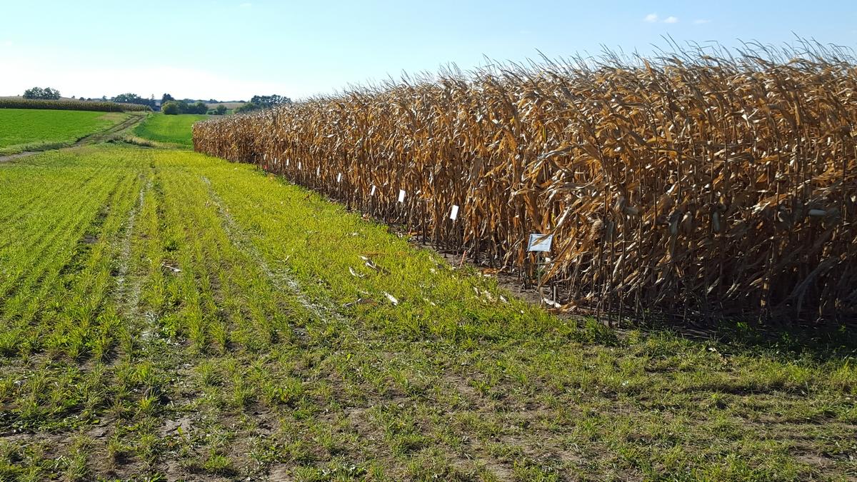 Corn Demonstration Plot