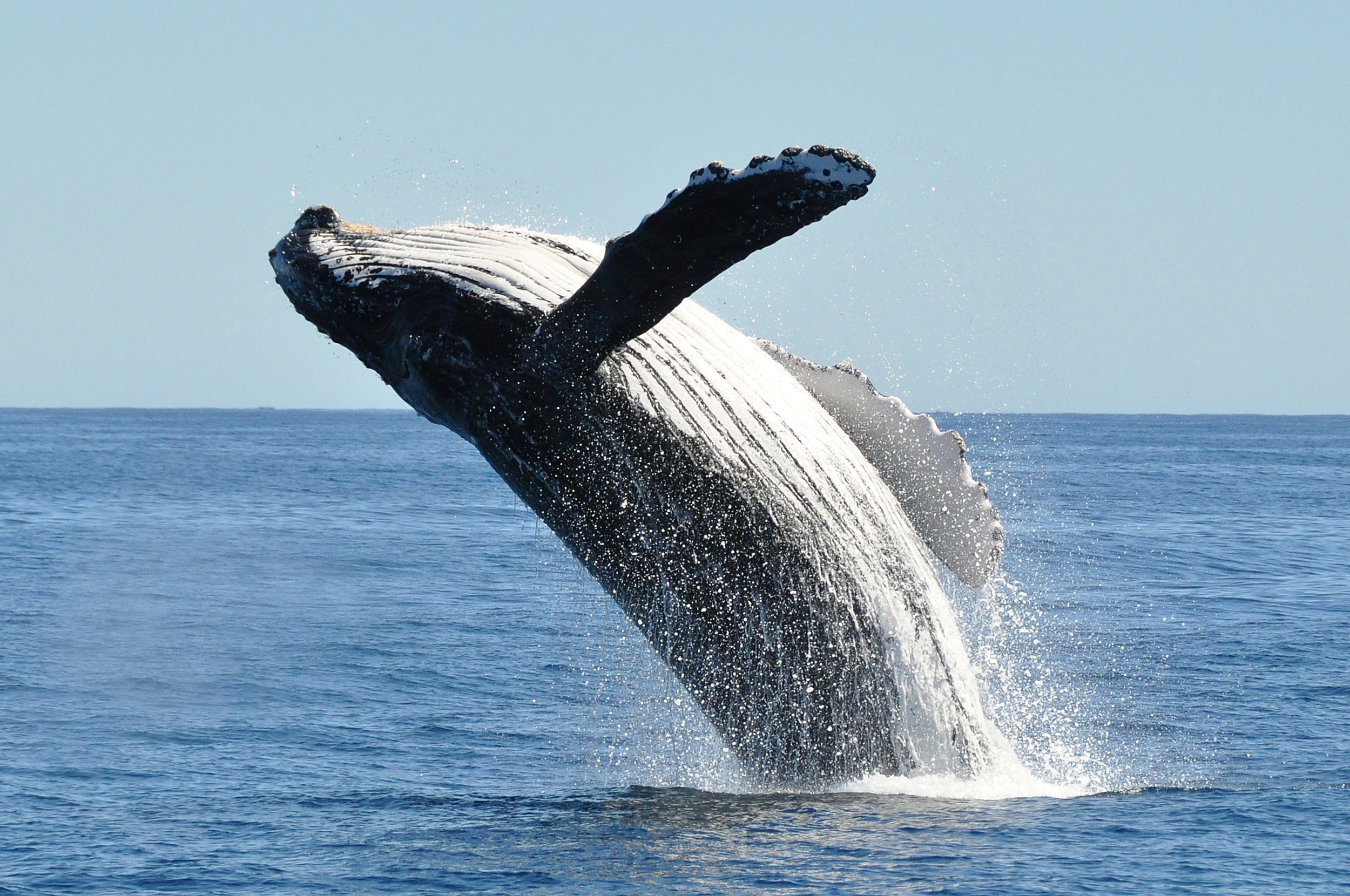 humpback 2.jpg