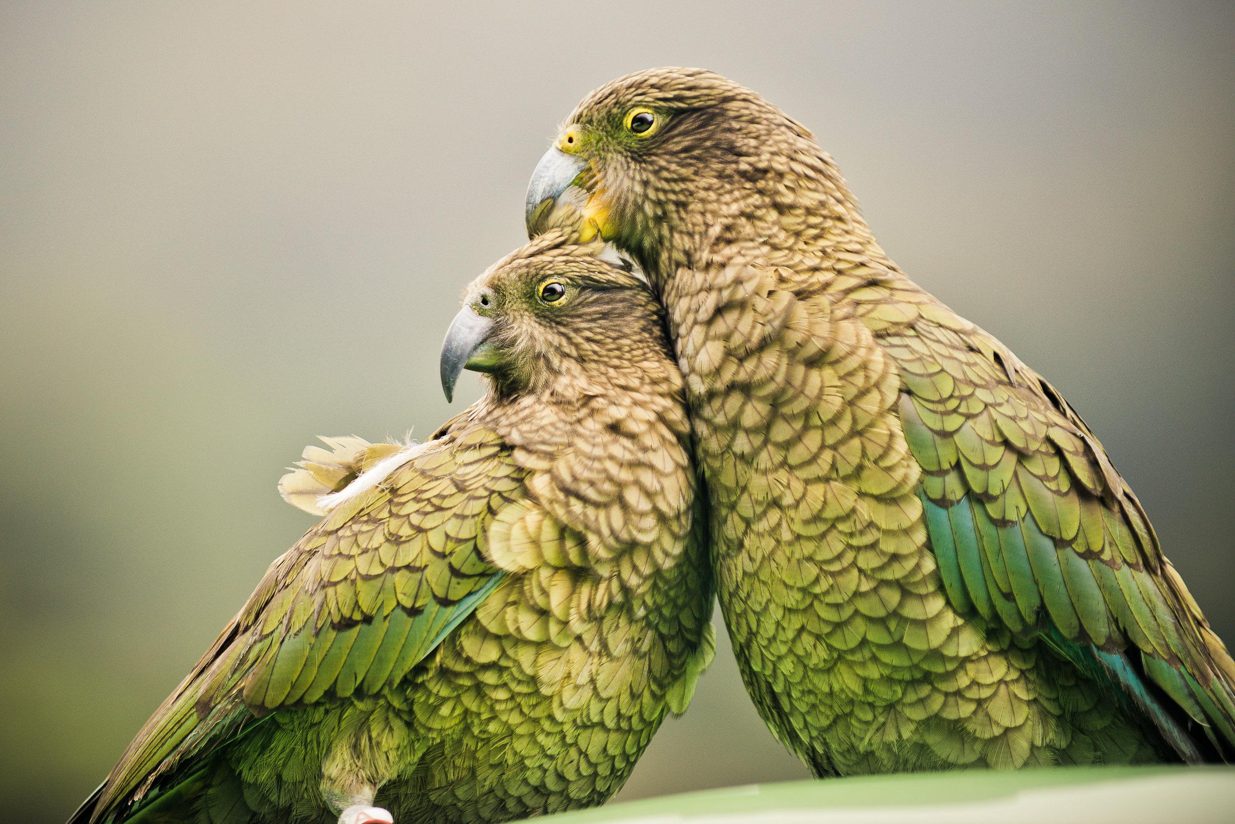NZ Native Bird, The Kea