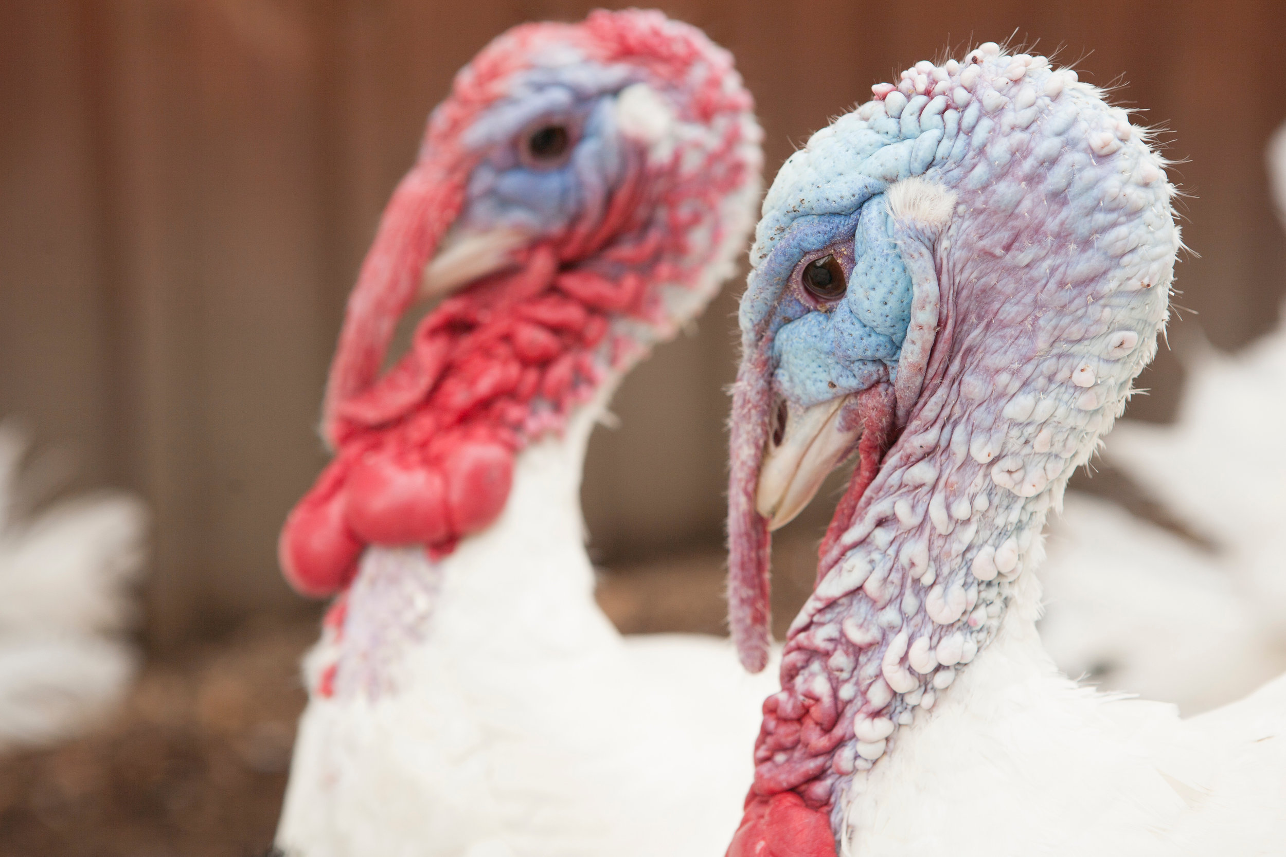turkey boys.jpg