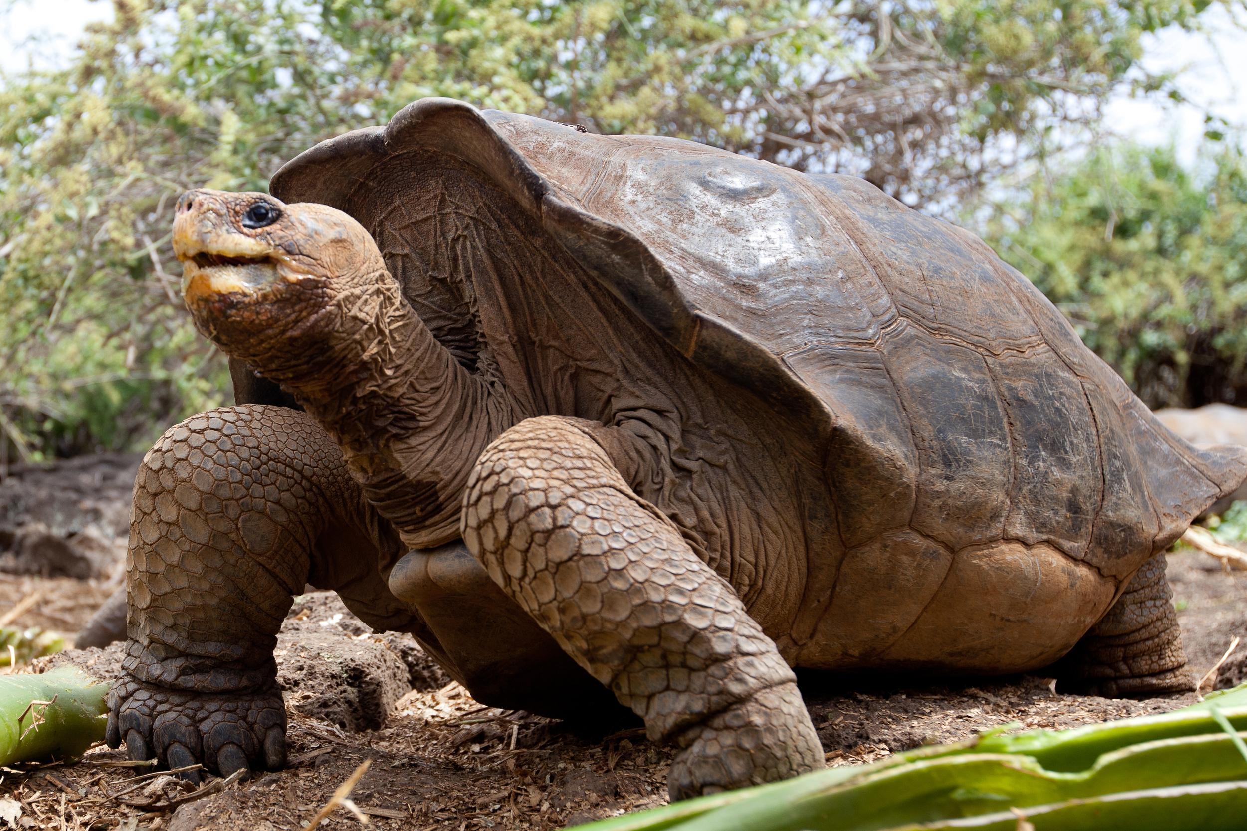 Pinzon Tortoise on Pinzon Island, Galapagos by Island Conservation on Flickr .