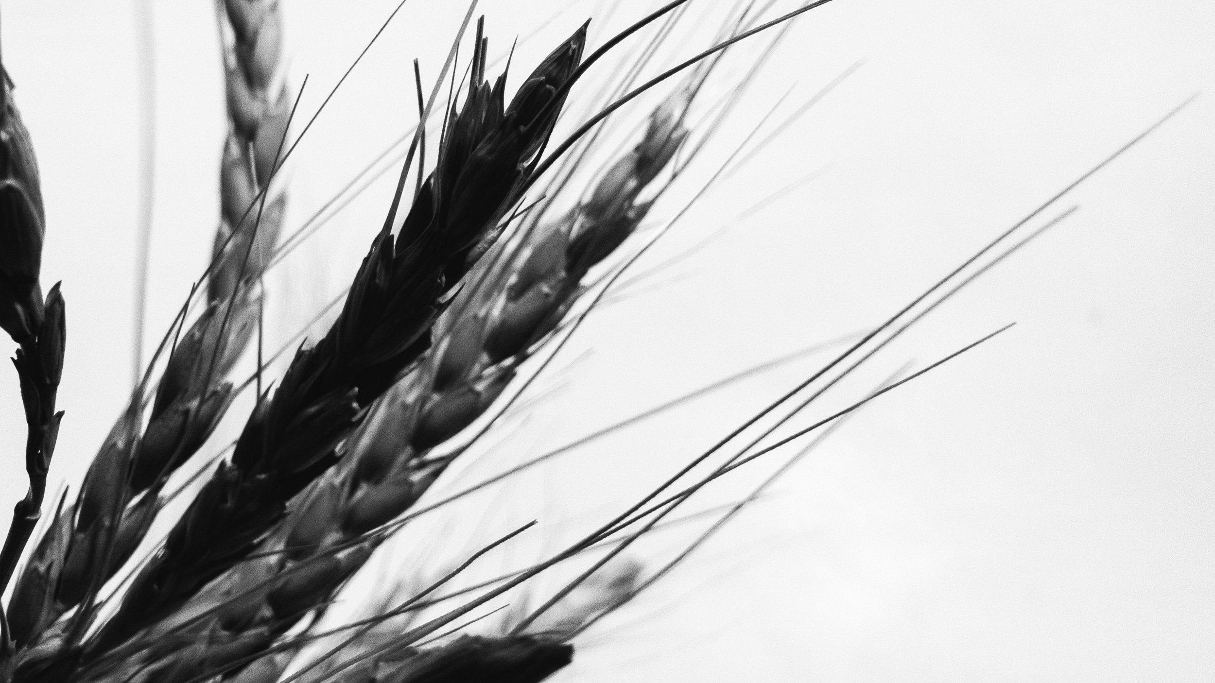 Cooked Farro Grain -
