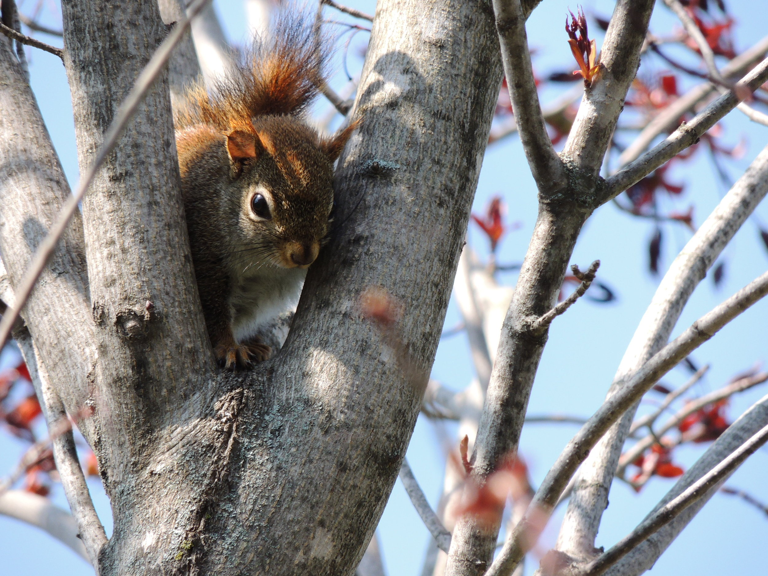 A red squirrel waiting as the family dog circles the tree. Hillsburgh, Ontario.