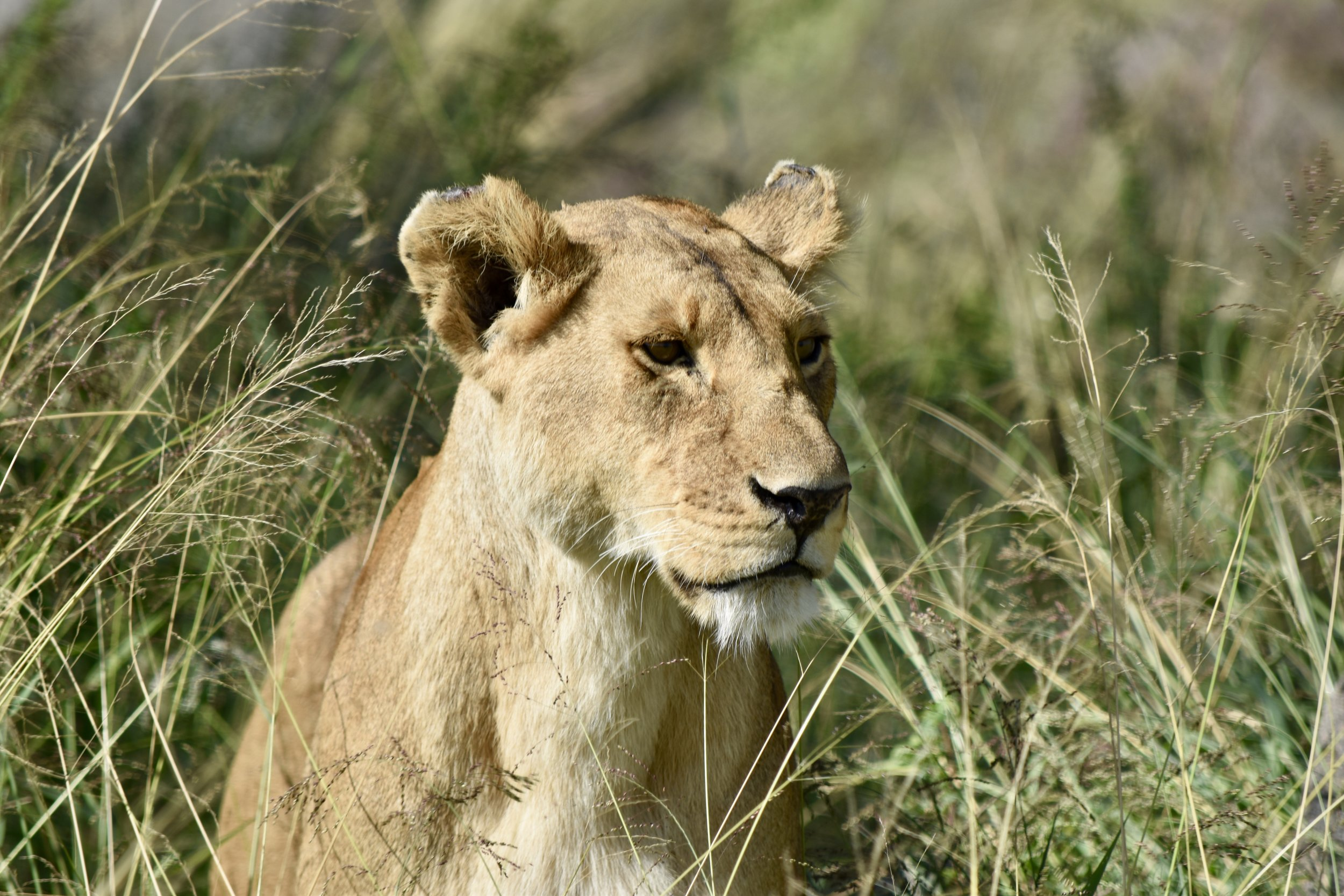 A lioness on alert while her cubs rest on nearby rocks. Serengeti, Tanzania.