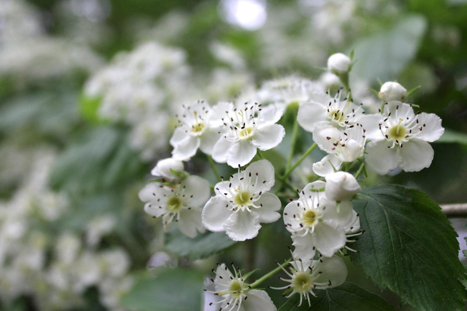 Hawthorn-Flowers.jpg