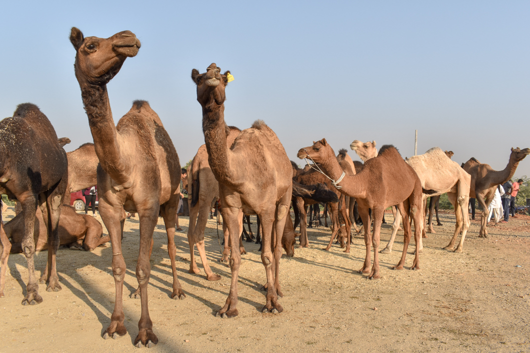 The Suffering of Camels - We spent three days at Pushkar Camel Fair in India, documenting the camels and the amazing work that the organisation, Help in Suffering, do to relieve the pain of these overworked animals.Read more