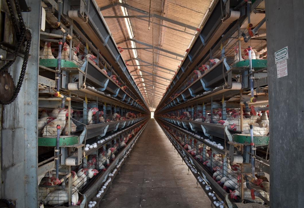 Egg Industry -