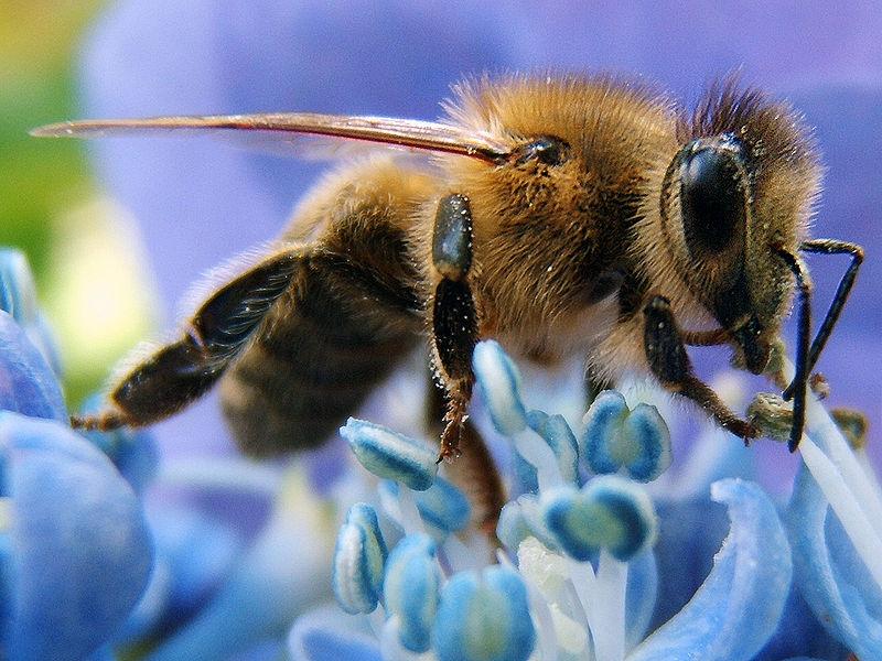 The western honey bee or European honey bee  (Apis mellifera)