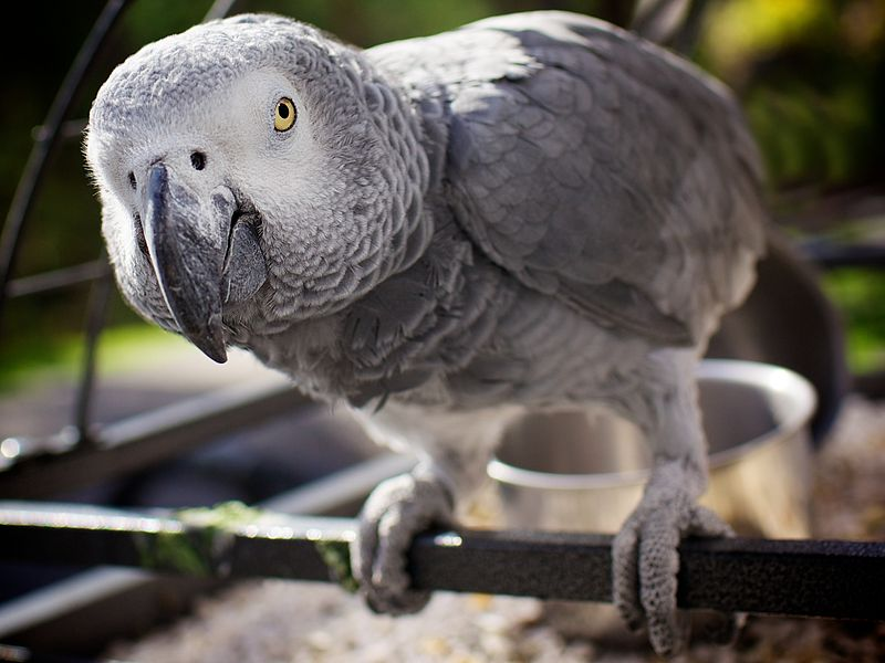 "According to the Cambridge Declaration on Consciousness, ""near human-like levels of consciousness"" have been observed in the African gray parrot"