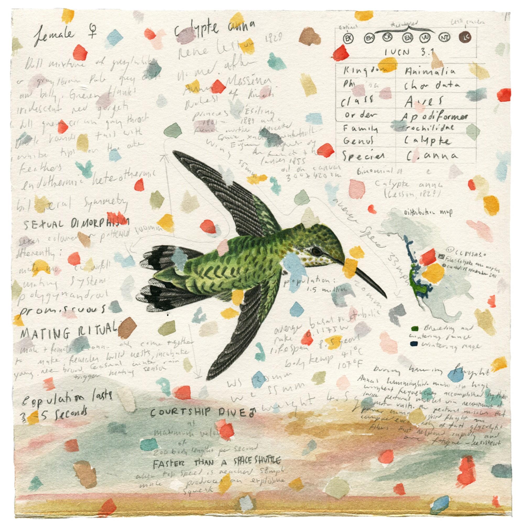 Hummingbird 010 'Anna's' -