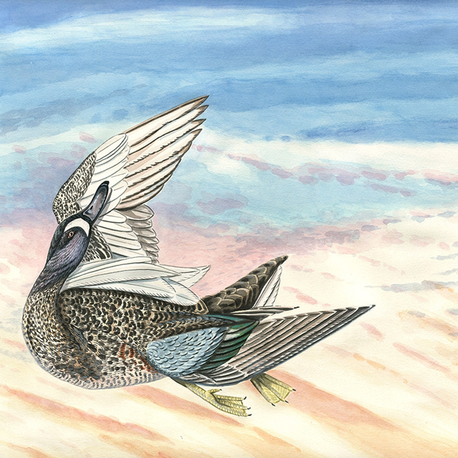 Blue Winged Teal -