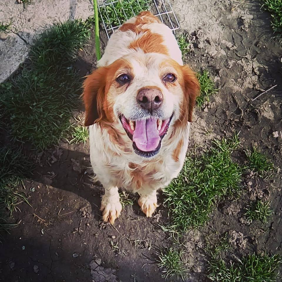 Foster a Dog — Save our Spaniels