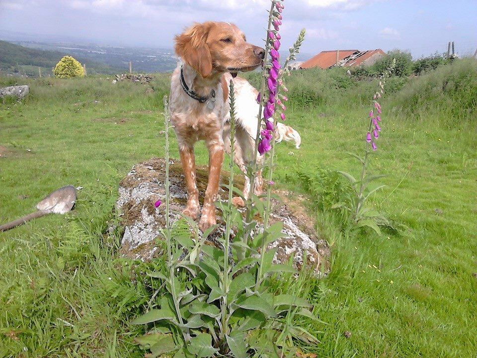 "RALPH - ""We were looking for a rescue spaniel when I came across the Save Our Spaniels charity. I had heard of a Breton but didn't know much about them. After chatting to Lucy from admin and doing some research I loved the sound of the breed. We adopted a four month old Breton boy called Ralph in March 2018, and we were not disappointed! They are the most wonderful dogs, submissive, loyal, intelligent, loving, sociable, beautiful and a practical size. Ralph is bouncy outside with excellent recall and as quiet as a mouse in the house, it's like he has an on/off switch, oh and he is a stunning boy too. We are so taken with the Breton that we are looking to adopt another one from SOS. We have had five working cockers prior to Ralph but are now complete Breton converts, they are the most wonderful breed, and we just love them!"""