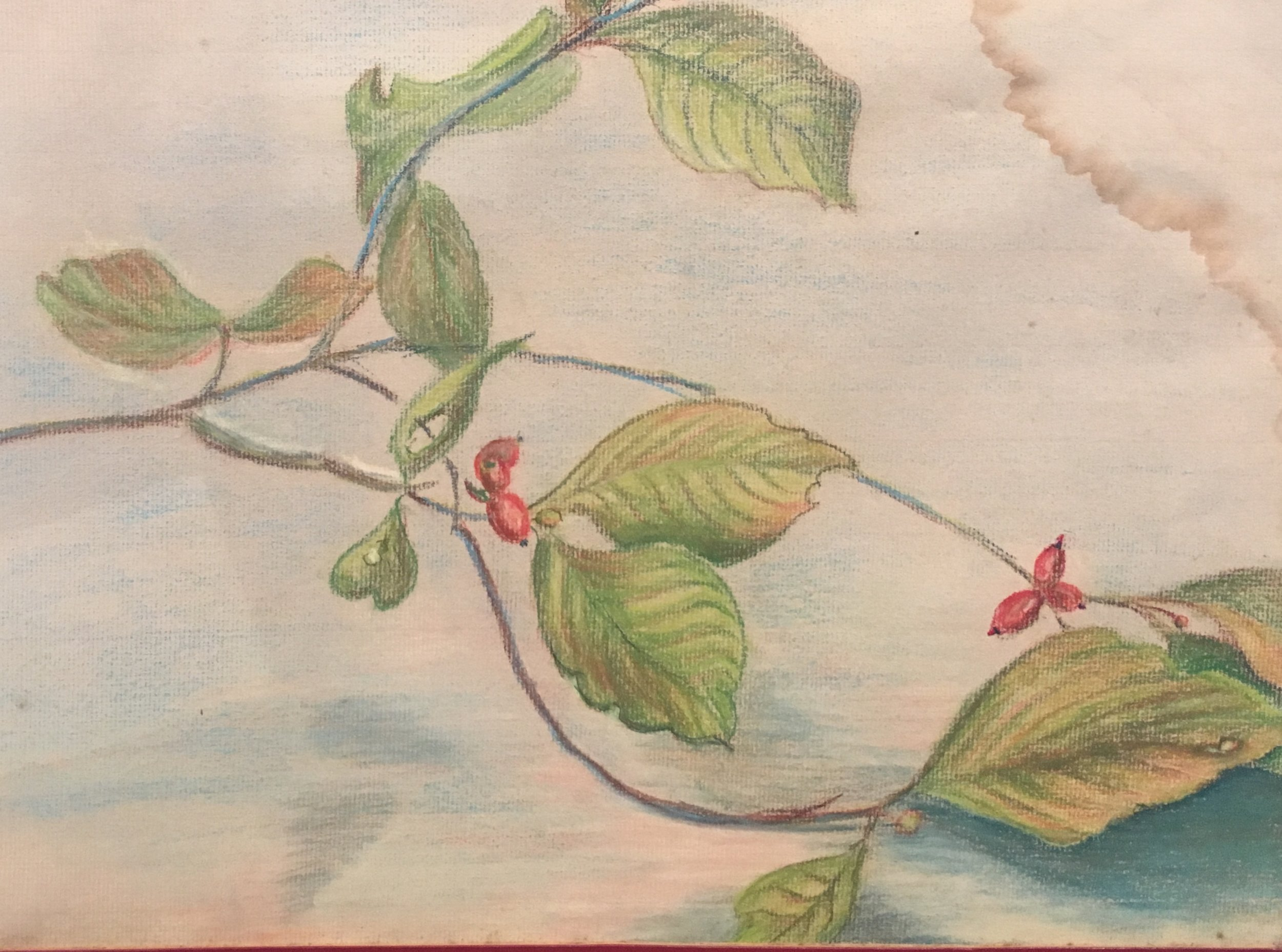 """Berries, 12"""" x 15"""", Colored Pencil, $50"""