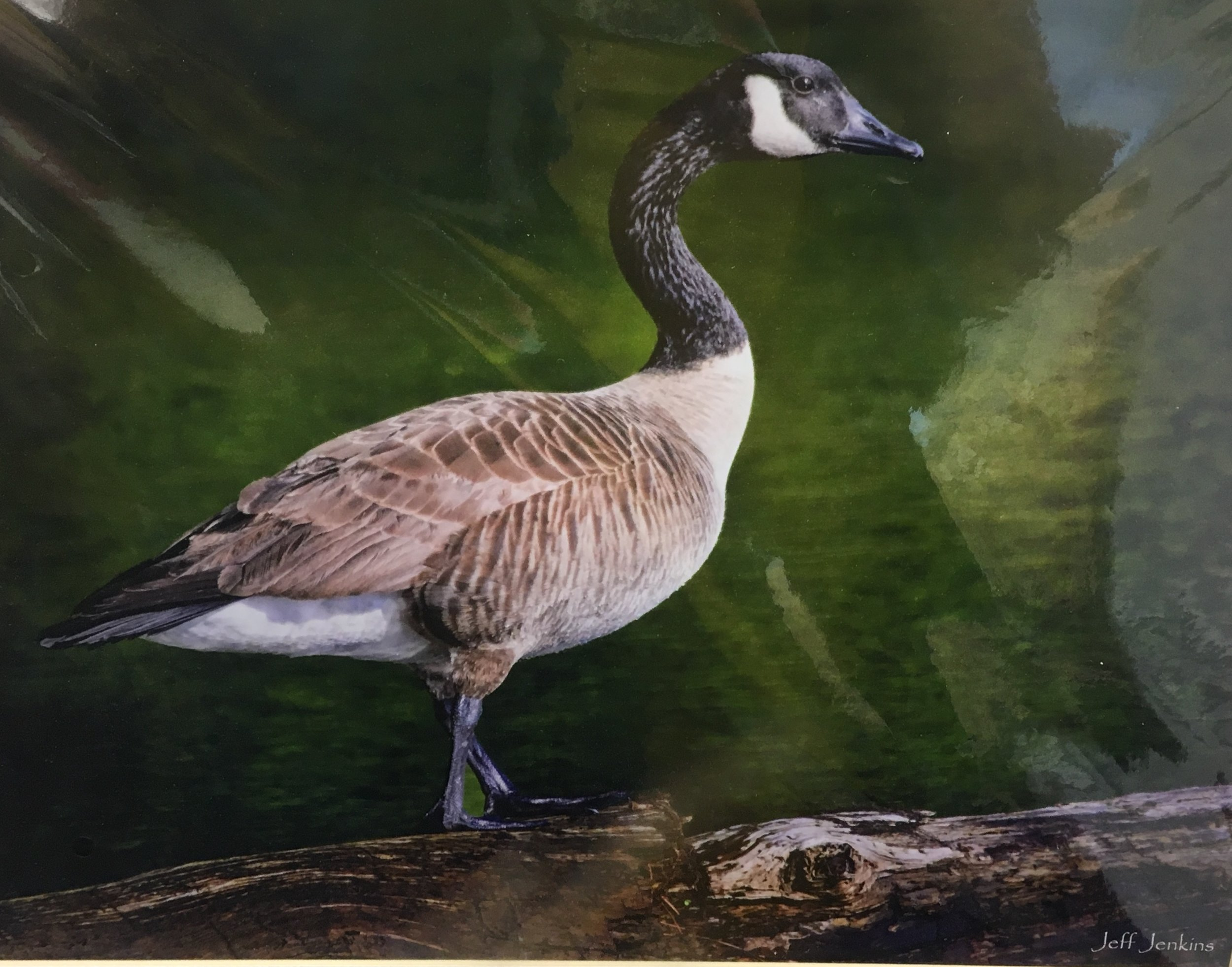"Canadian Goose, 16""x 20"", unframed photography, $60"