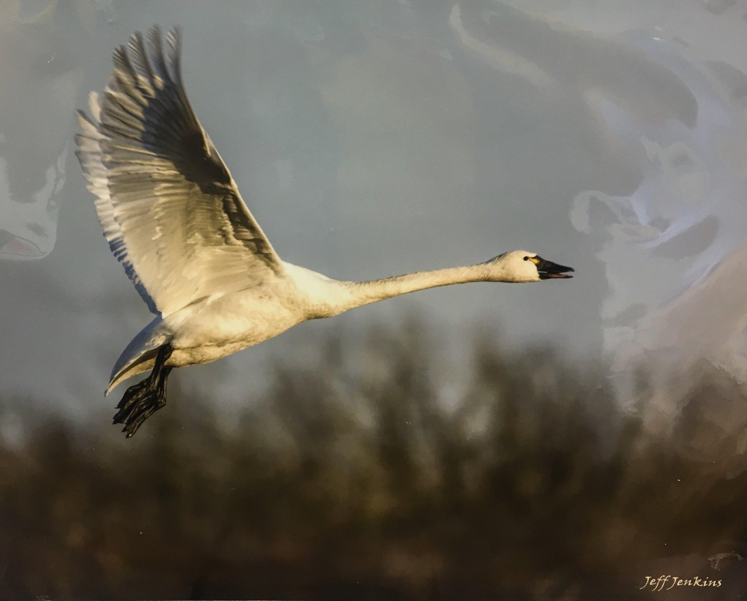 """Swan In Flight, 11""""x 14"""", unframed photography, $55"""
