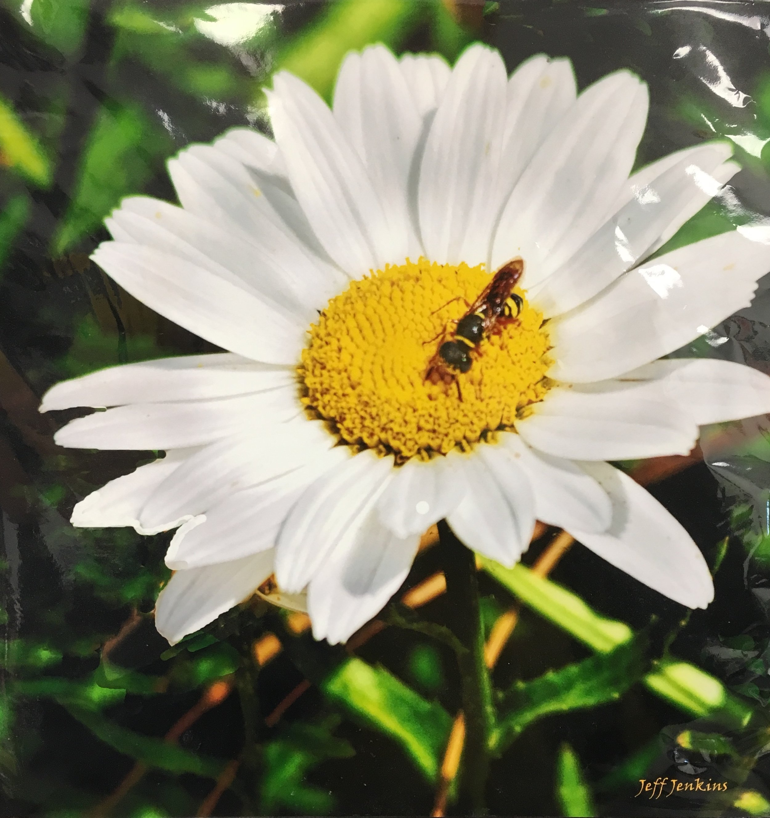"Daisy with Bumble Bee, 12""x 12"", unframed photography, $40"