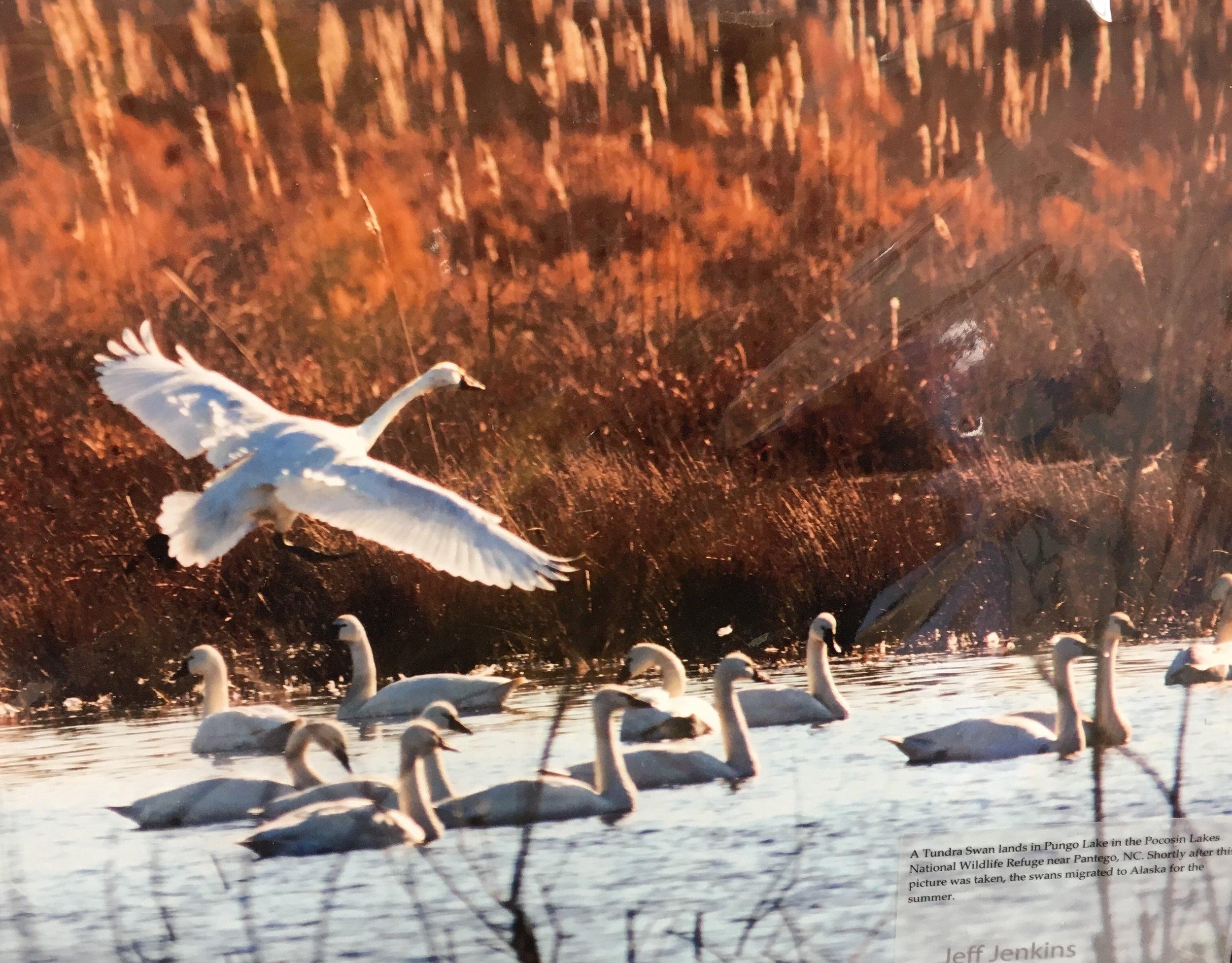 "Tundra Swan, 11""x 14"", unframed photography, $40"