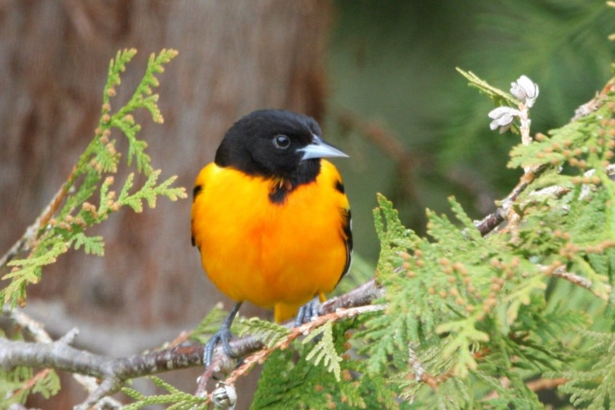 baltimore oriole - Its numbers are down by 50% over the last 50 years. The Baltimore oriole is just one of the iconic species of wild birds that are disappearing in North America.