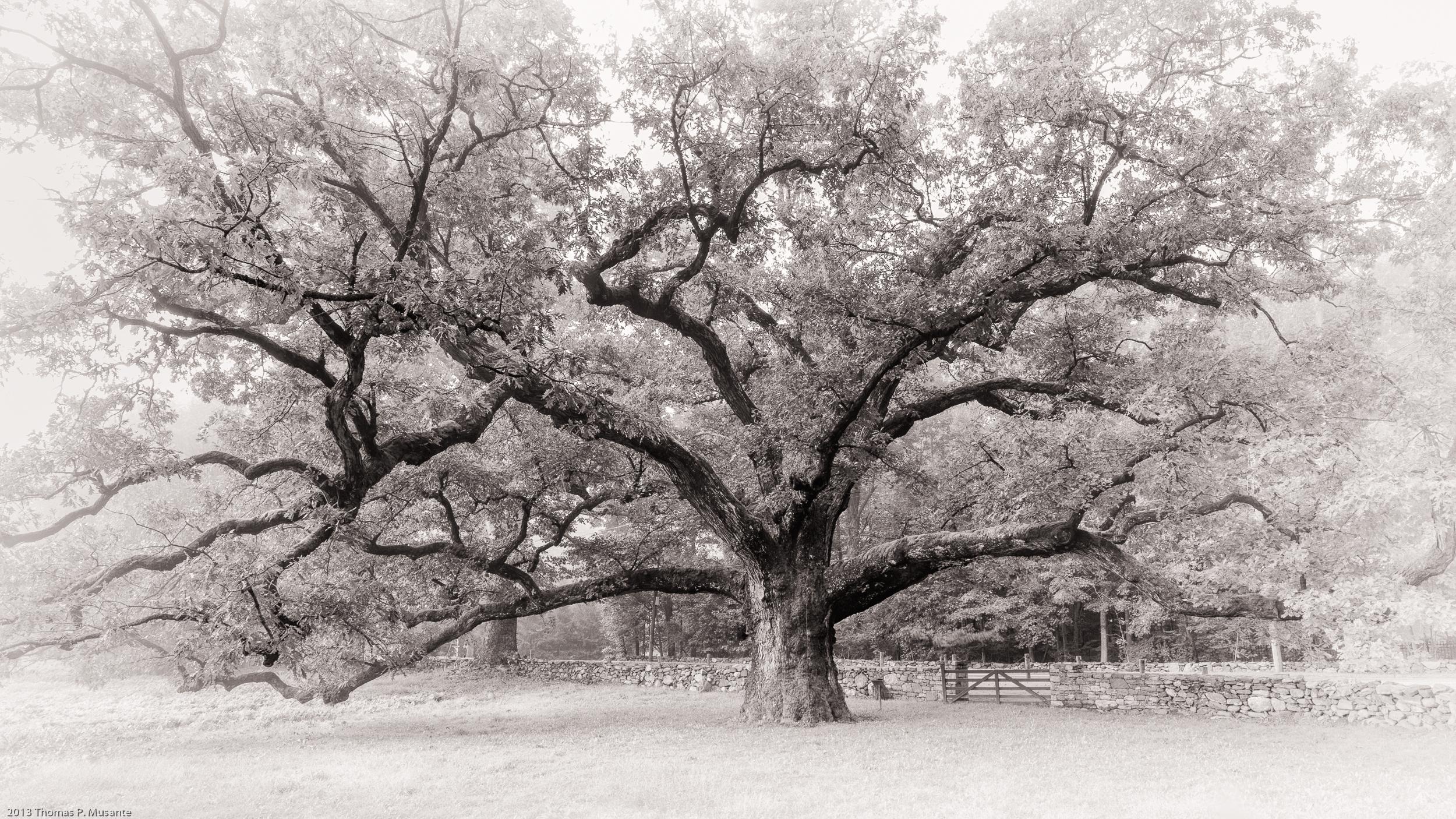 Bedford Oak a1 (1 of 1).jpg