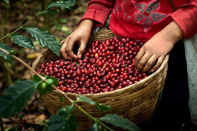 Basket-Full-Of-Coffee-Cherries-Coffee-Farm-El-Salvador.jpg