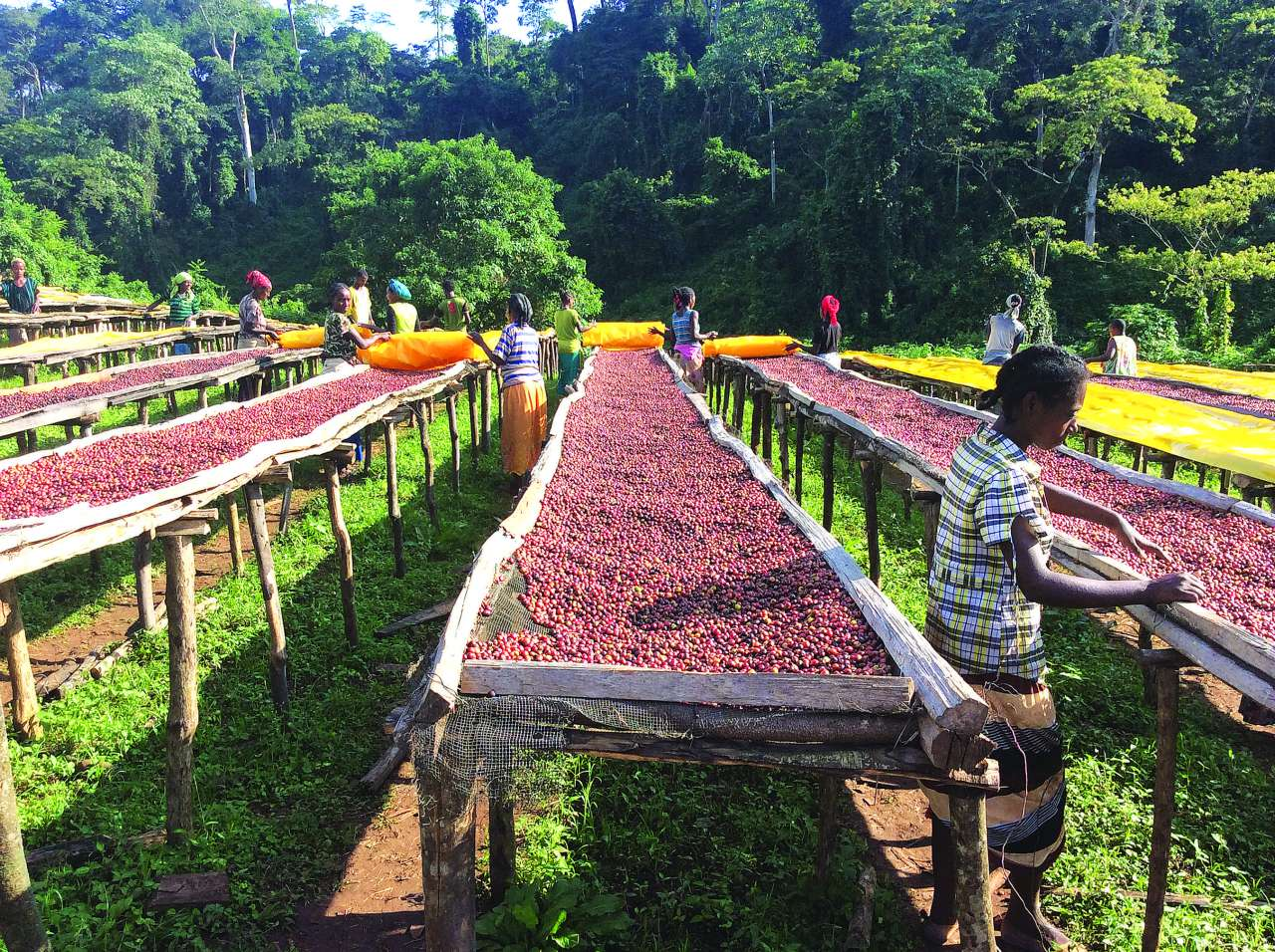 Ethiopian Tafachi farm.jpg