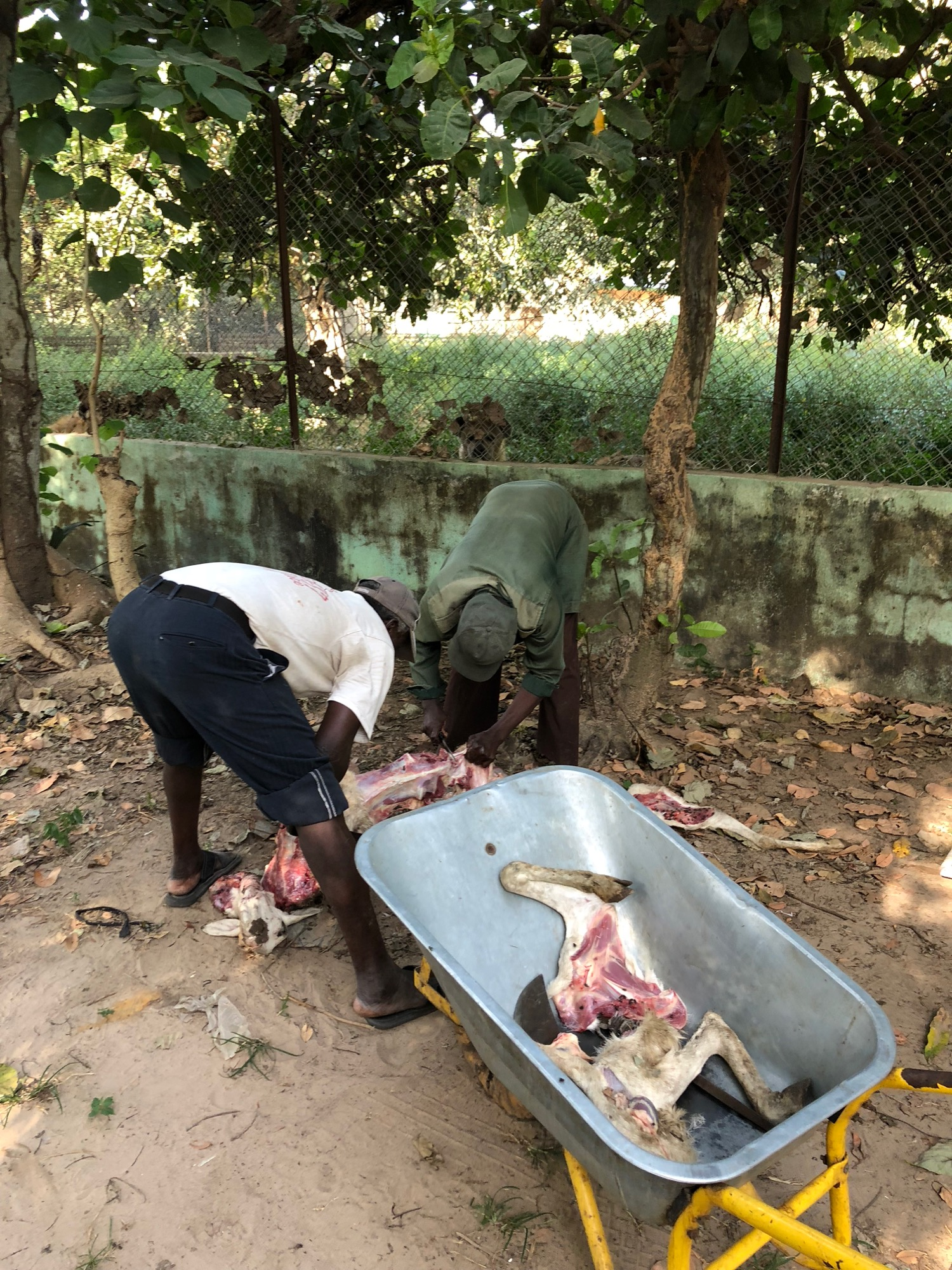 Sick goat butchered for hyenas