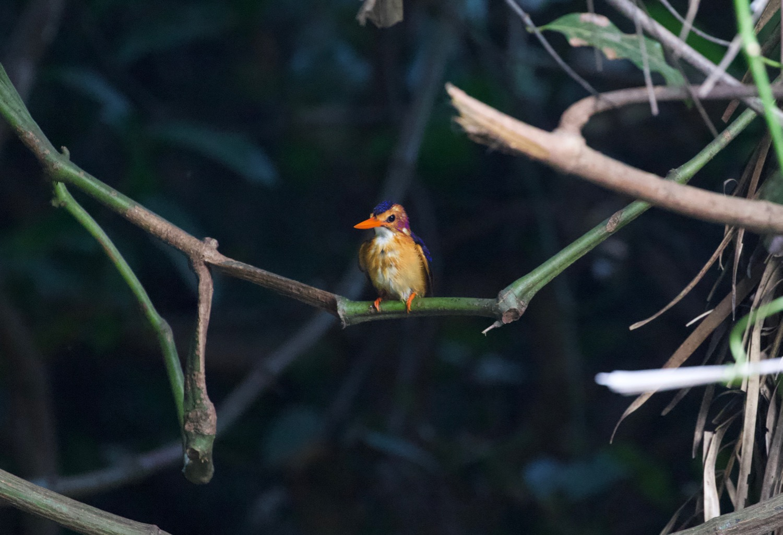 pygmy_kingfisher.jpg