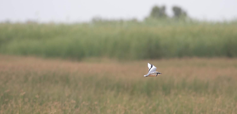 Egyptian plover in flight