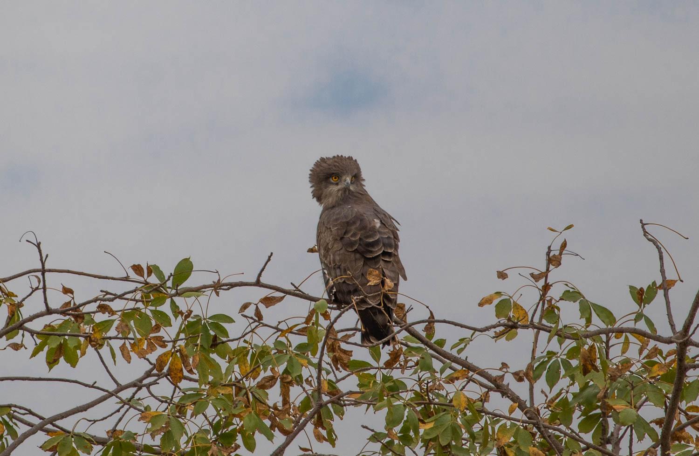 Western banded snake-eagle, roadside.