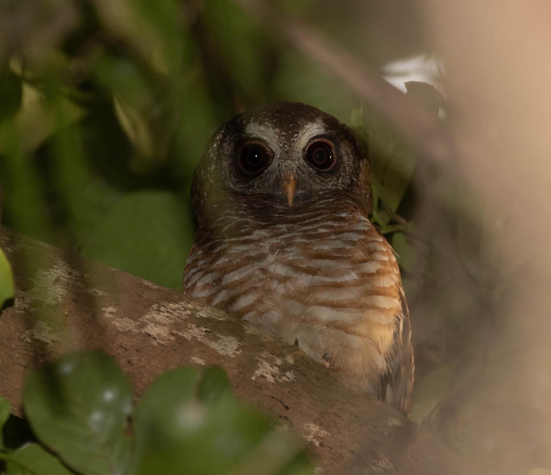 African wood-owl, Ferrakunda