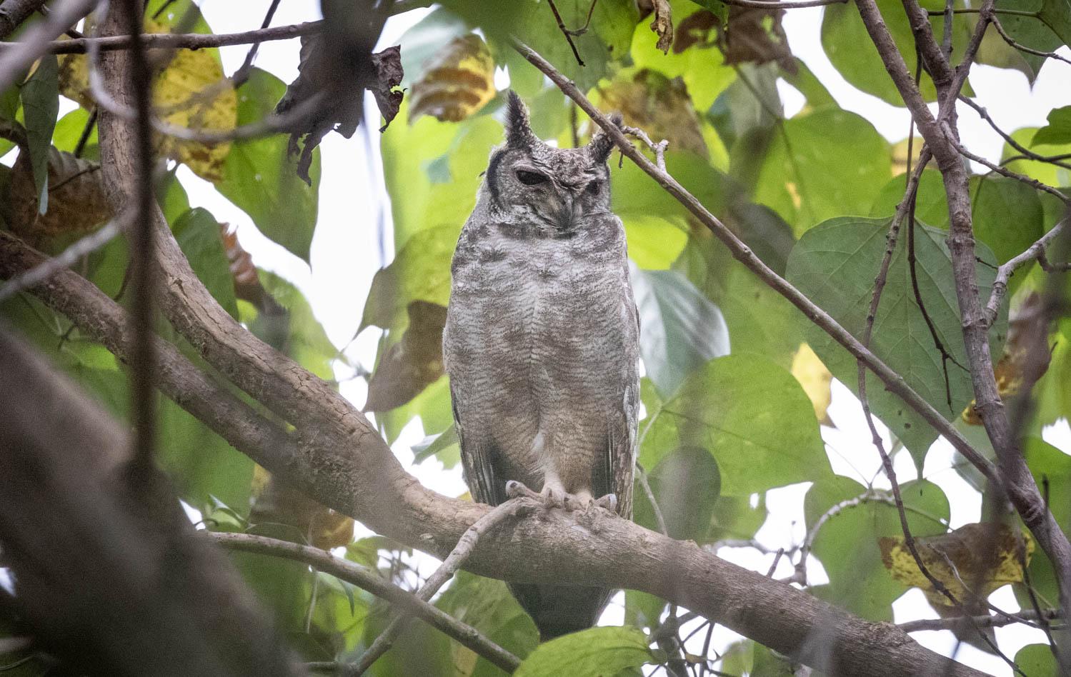 Greyish eagle owl, Ferrakunda