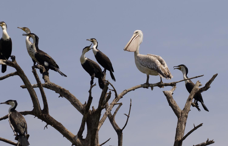 Great cormorant with pelican