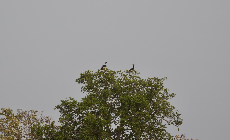 Black-crowned cranes