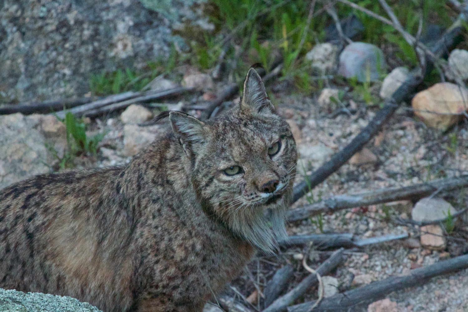 Iberian Lynx 2m behind me checking me out