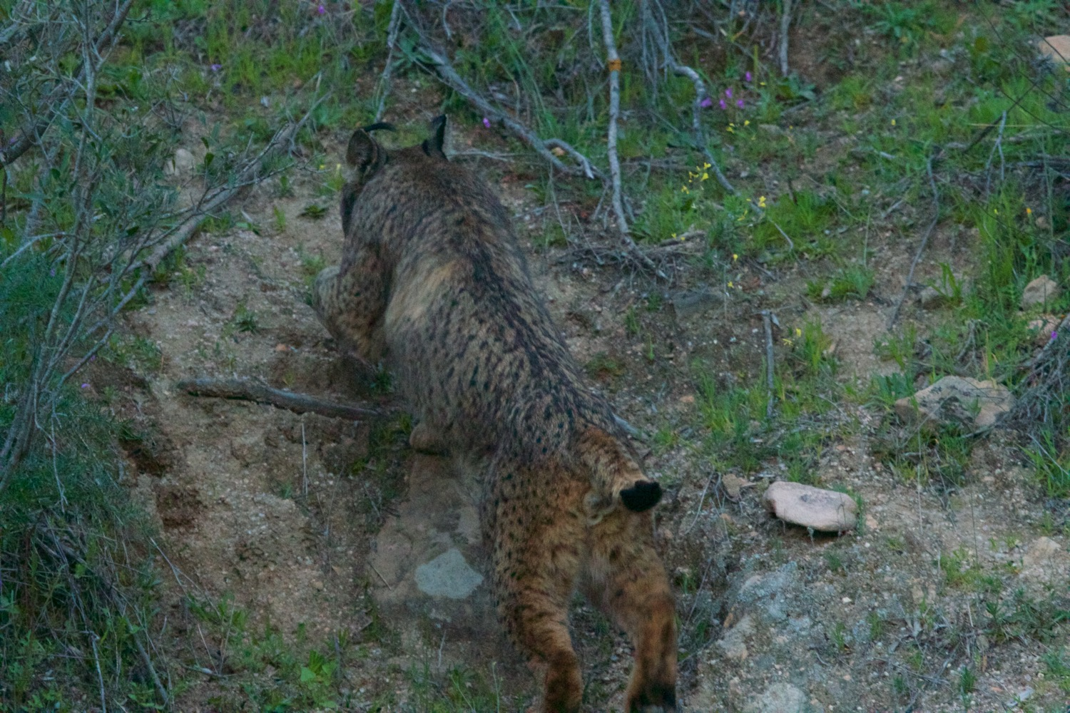 Iberian lynx walking up a steep hillside with ease