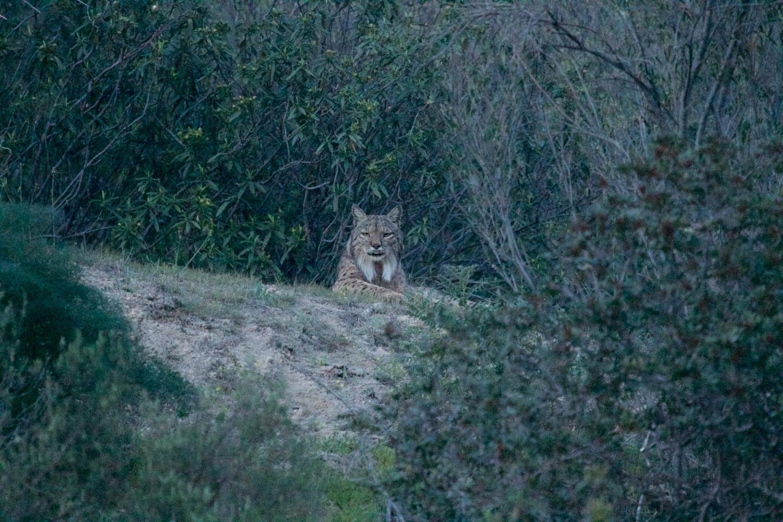 Regal lynx looking down on us