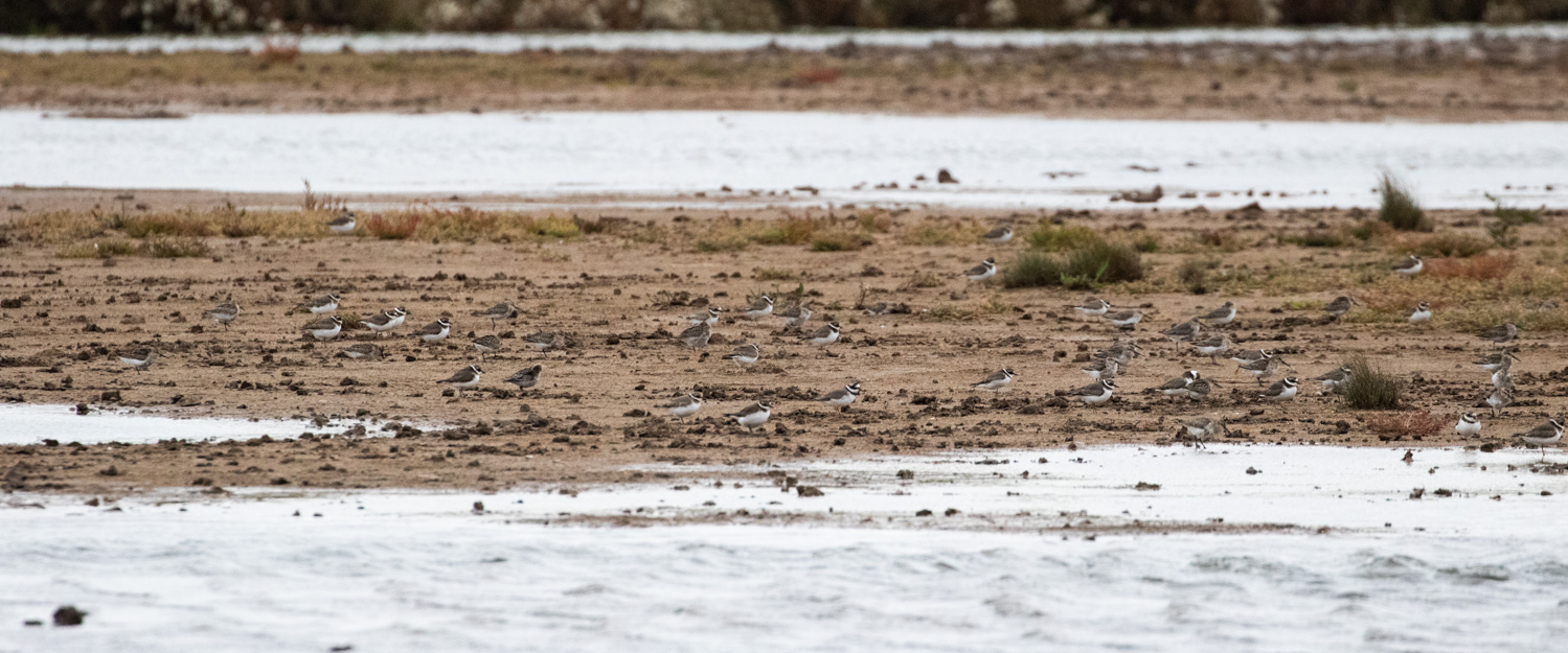 Distant Ringed Plovers and Dunlin