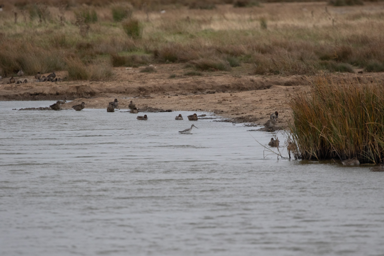 Spotted redshank swimming across
