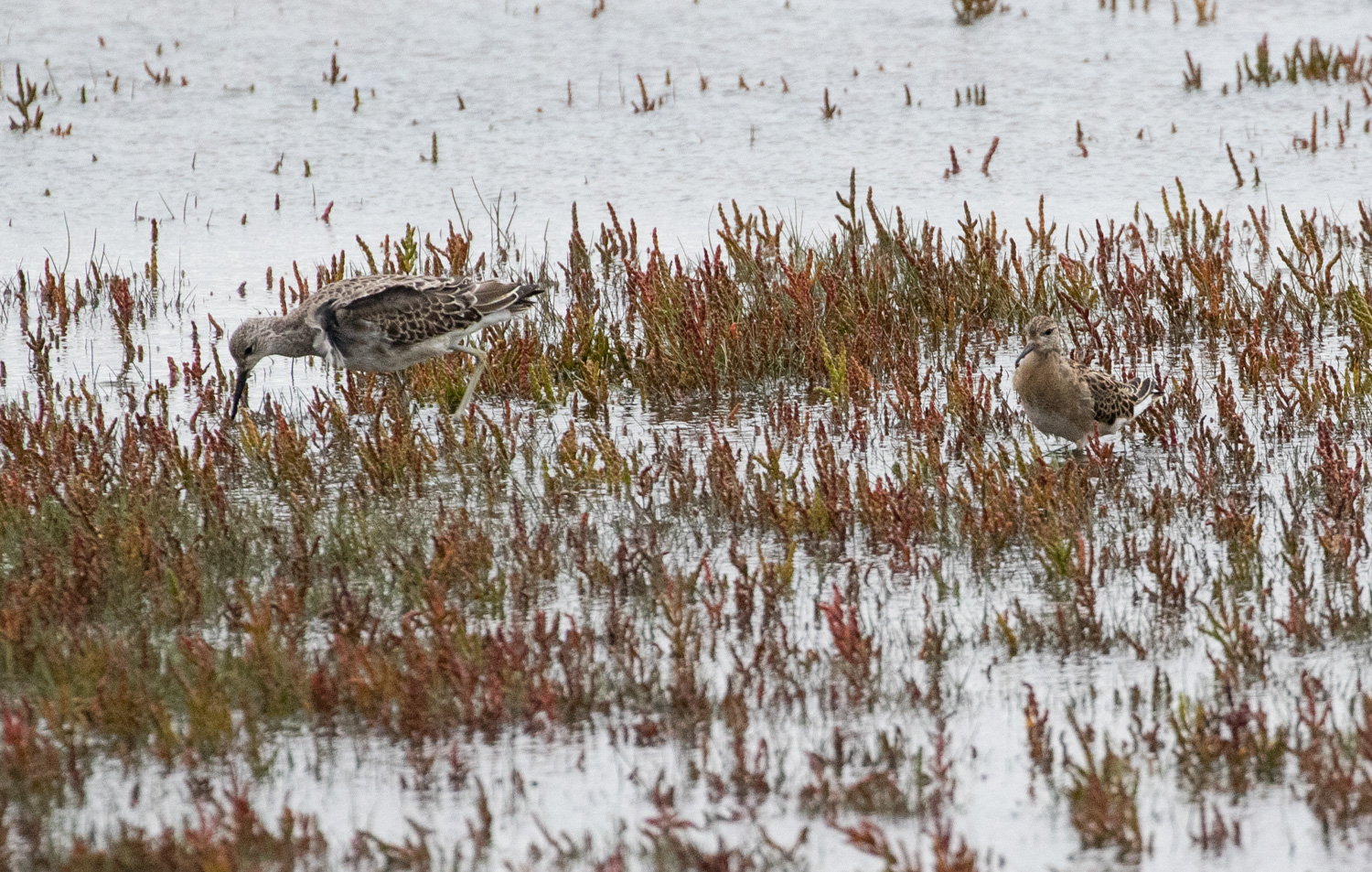 Ruff showing quite extreme size variation