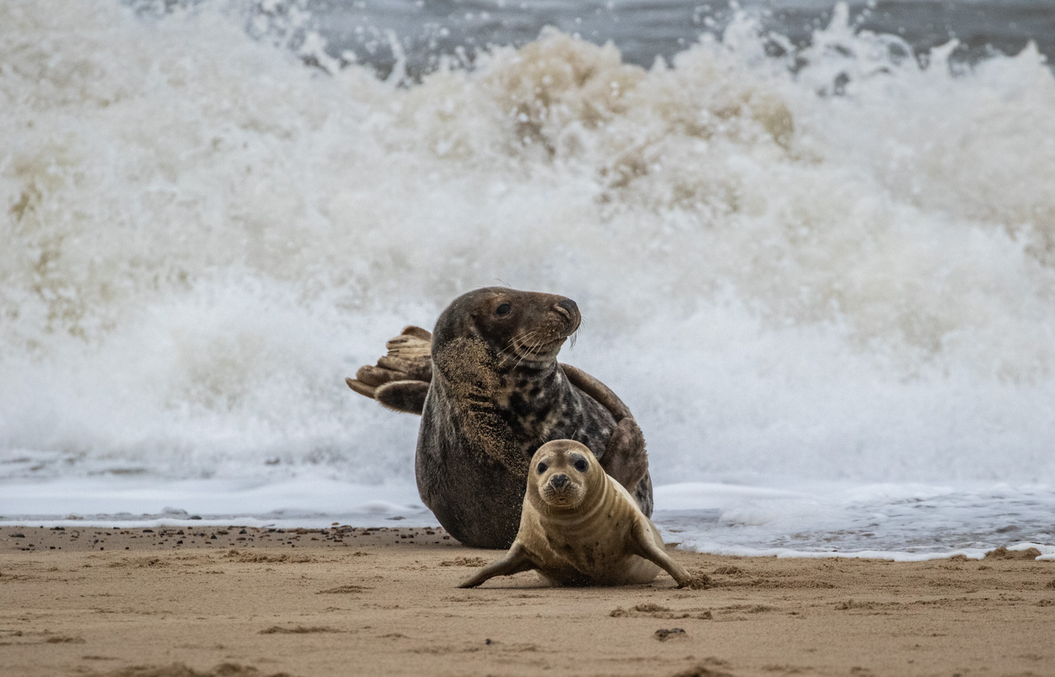 Seal with pup braving the elements at Horsey Gap, Norfolk