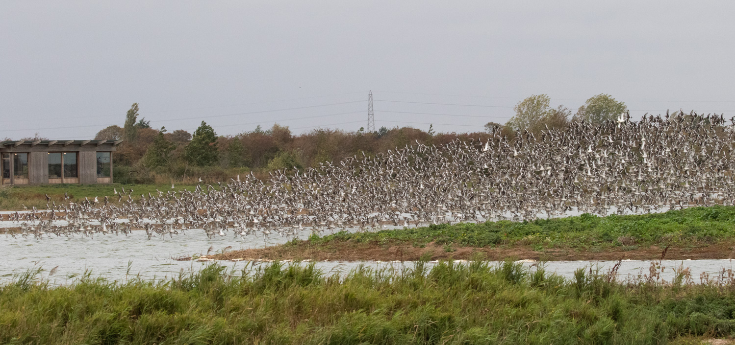 Black-tailed Godwit flock at the visitor centre at Frampton Marsh RSPB