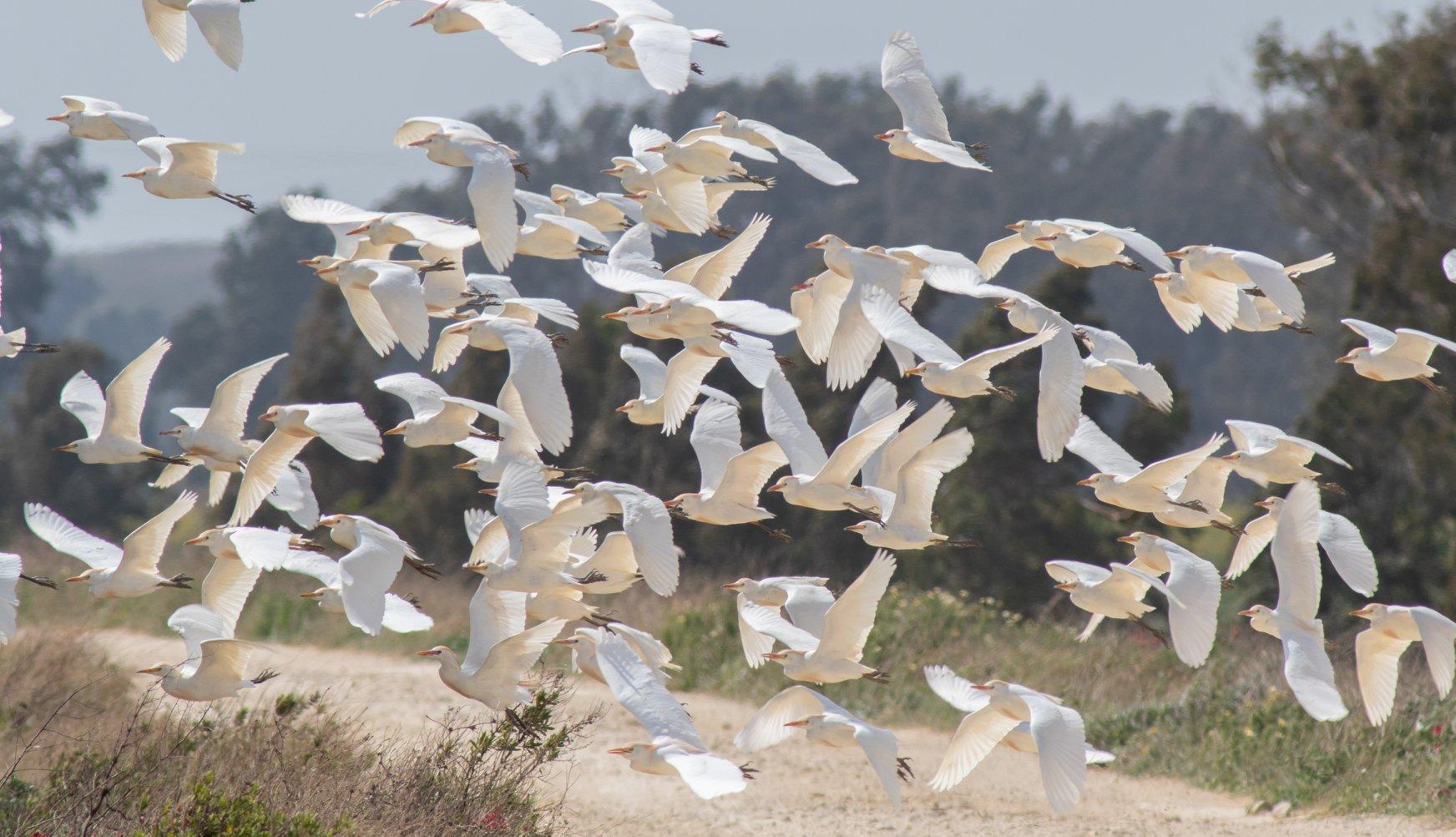 Cattle egrets, La Janda, Martin Loftus