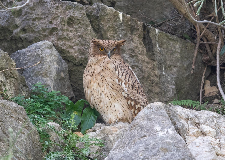 Brown Fish Owl, Oymapinar Lake, Manavgat, Turkey
